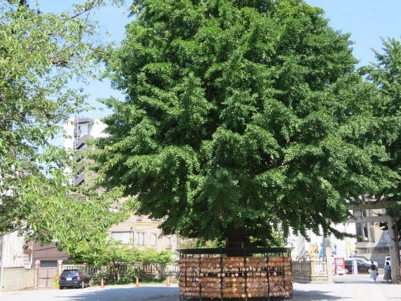 今戸神社 - 台東区/東京都 の見どころ。大きな大木が... by タッツン   Omairi(おまいり)